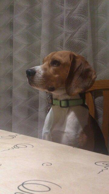 Big the beagle