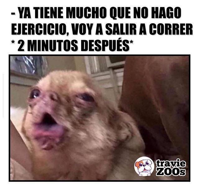 Ayudaaa Me Falta Condicion Perros Chihuahua Tos Tosdeperro Dogs Funny Memes De Perros Chihuahua Memes Memes De Risa