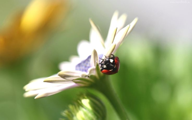 Biedronka, Kwiat