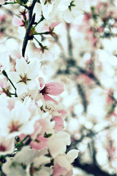 Cherry Blossoms - the universal symbols of peace, happiness, and prosperity.