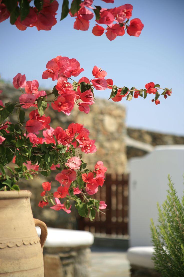 Garden details with #voukamvilia #lavender and summer light in #Mykonos