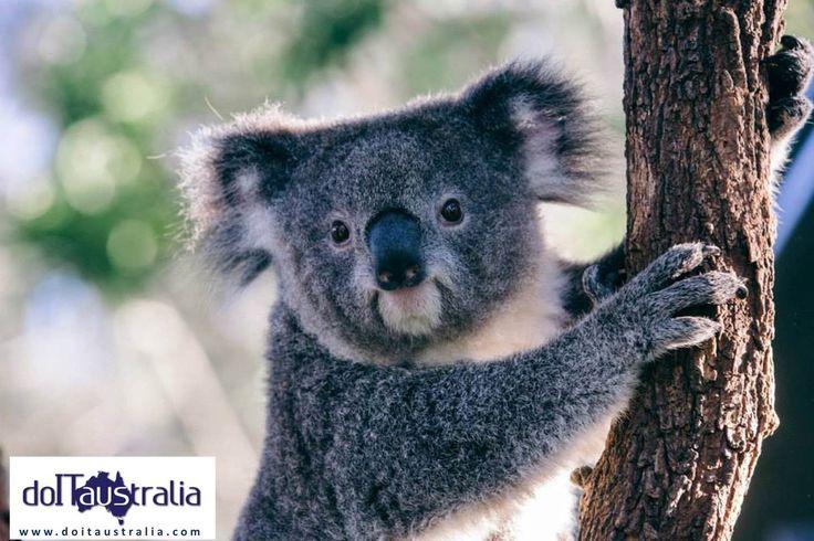 (ANSA) - SYDNEY, 3 OTT - Il koala, animale simbolo dell'Australia, è noto per il suo attaccamento alla varietà di eucalipto delle cui foglie si ciba, per lo più di notte, trascorrendo invece gran parte del giorno a dormire. Per proteggerlo dal riscaldamento globale, che ne minaccia l'estinzione, non basta tuttavia preservare i suoi amati eucalipti.