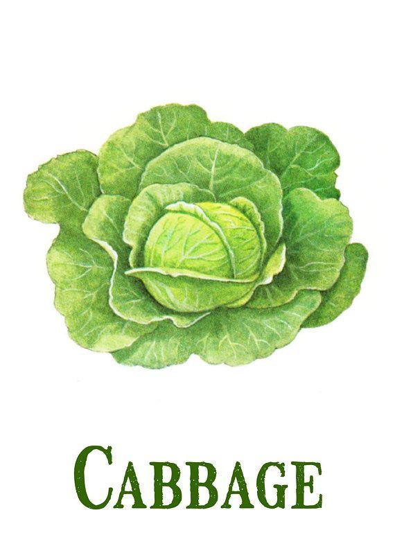 burlap prints etc 300dpi Vintage Cabbage Green Vegetable image Instant Download printable retro picture clipart digital graphic transfer