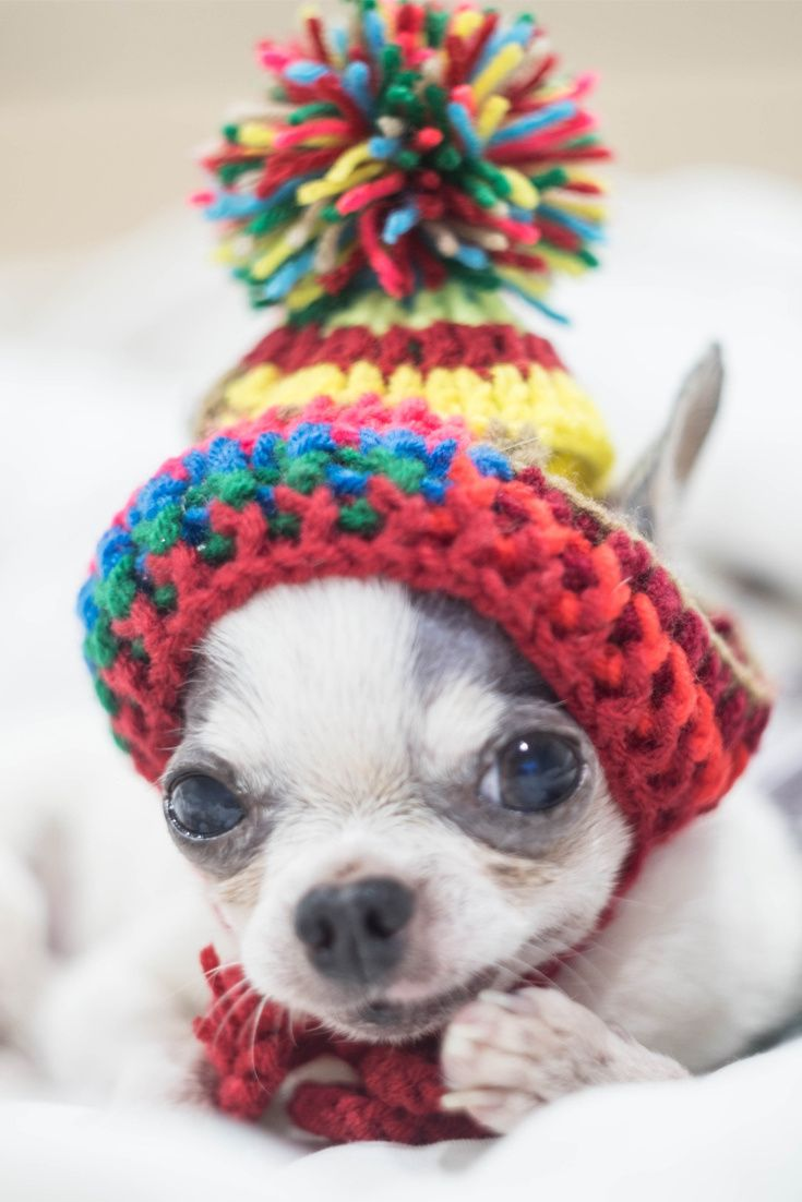 A Cute Chihuahua Puppy Is Ready For Winter Cute Puppy Dog