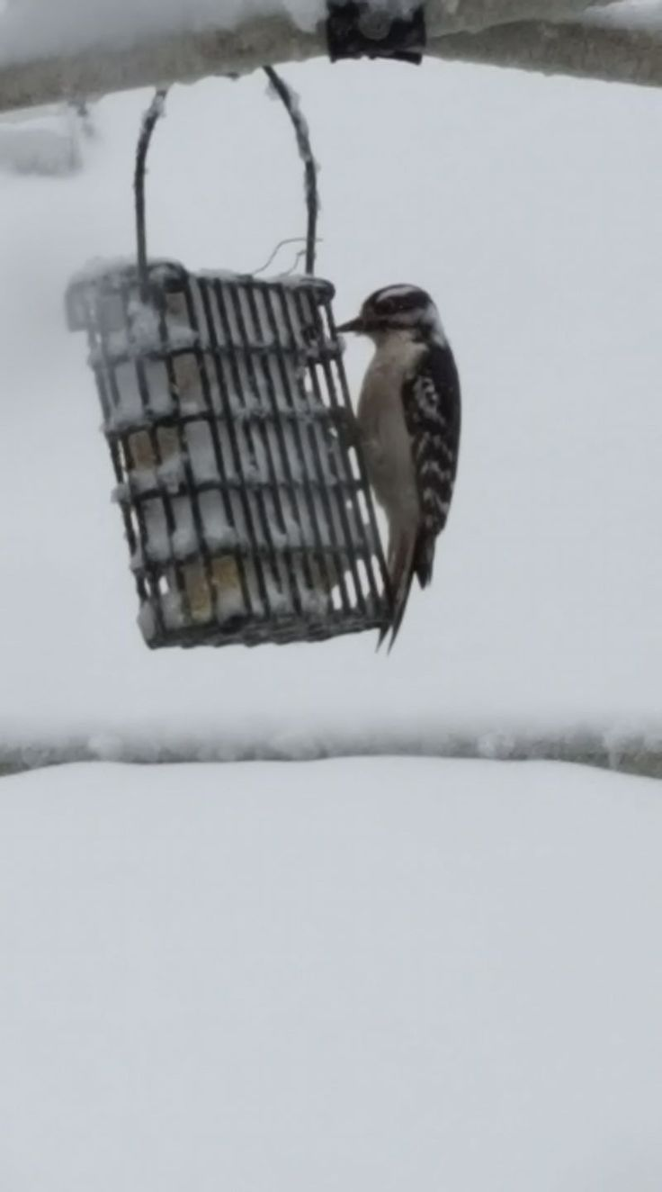 Robin Lapp ~ We are in the  middle of a  major  snow  storm  in rhode island  usa and this Downey wood pecker  stopped by the  feeder.
