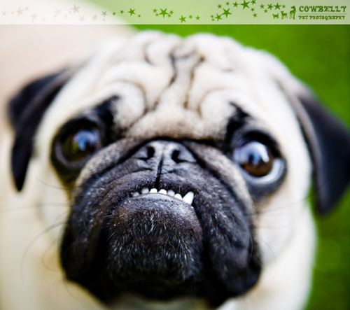569 Best Pugs Images On Pinterest Pets Pug Dogs And