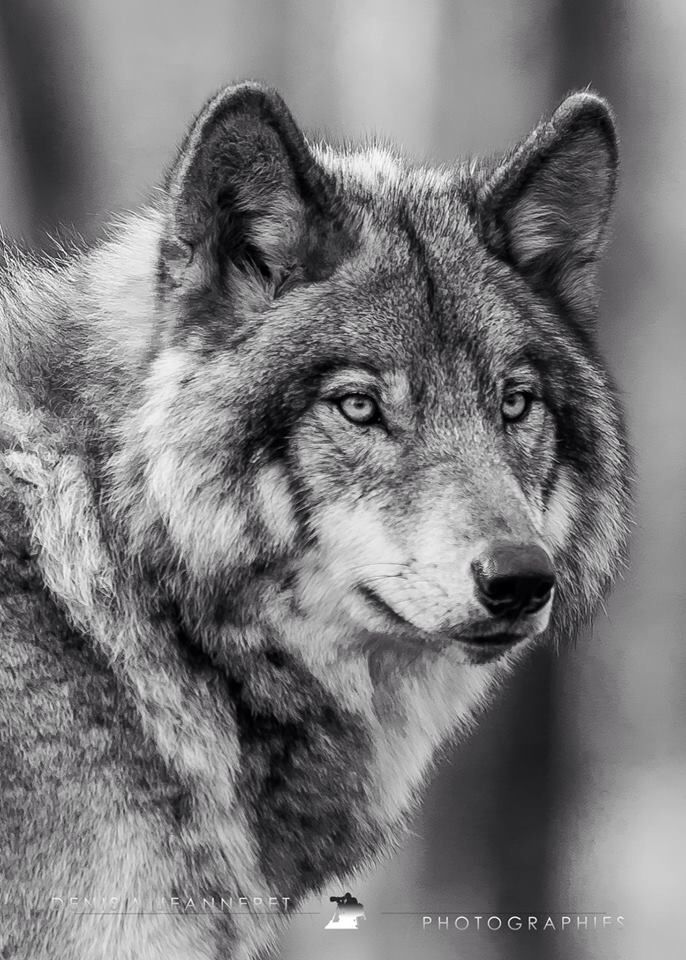 Wolf   – Photography