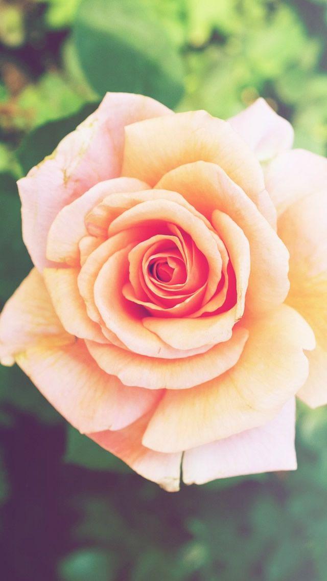Pink Rose Flower Macro #iPhone #5s #wallpaper