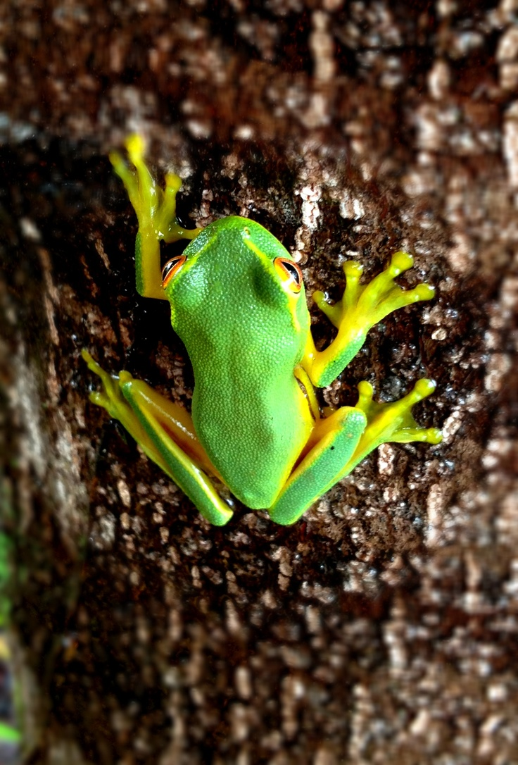 A green tree frog that I photographed in Eumundi, QLD. Not furry but cute all the same