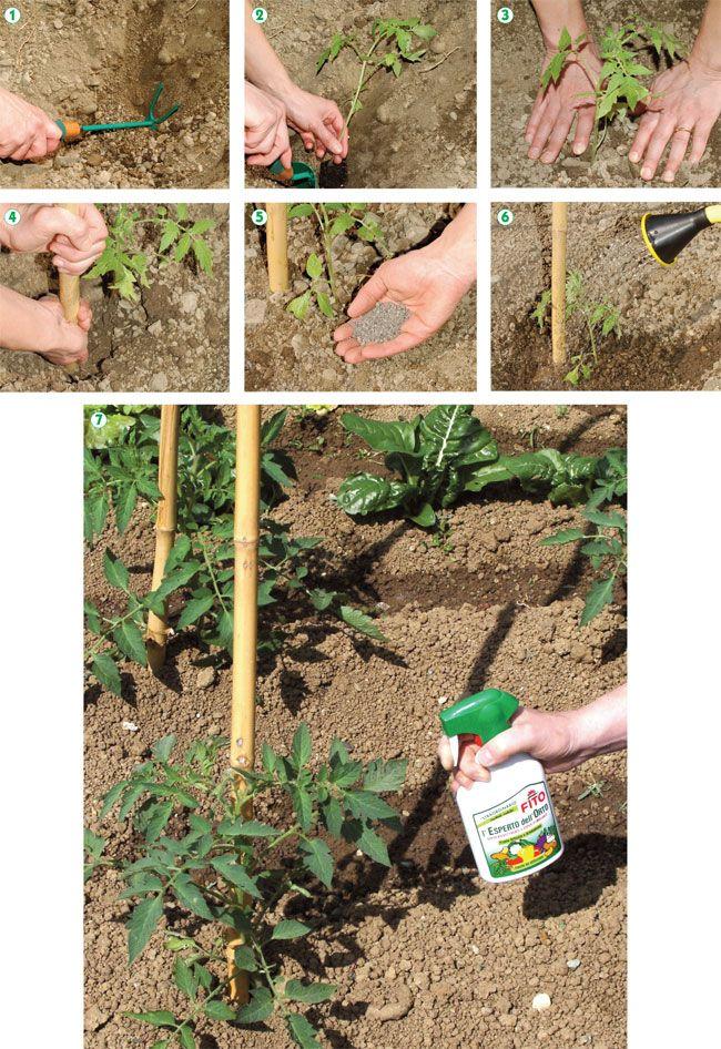 Oltre 25 fantastiche idee su coltivare pomodori su for Piante pomodori in vaso