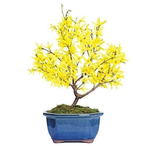 Brussels Bonsai Tree Plant Garden Hooseplant Forsythia Summer Leaves Best Gift #BrusselsBonsai