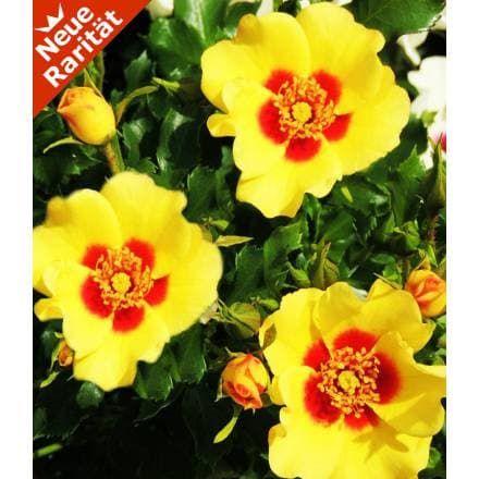 baldur garten rosen – msglocal, Terrassen ideen