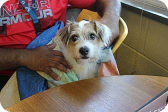 Philadelphia, PA - Jack Russell Terrier/Yorkie, Yorkshire Terrier Mix. Meet Blue, a dog for adoption. http://www.adoptapet.com/pet/16798793-philadelphia-pennsylvania-jack-russell-terrier-mix