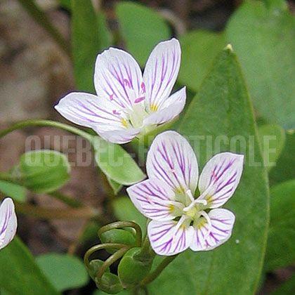image de Claytonia caroliniana