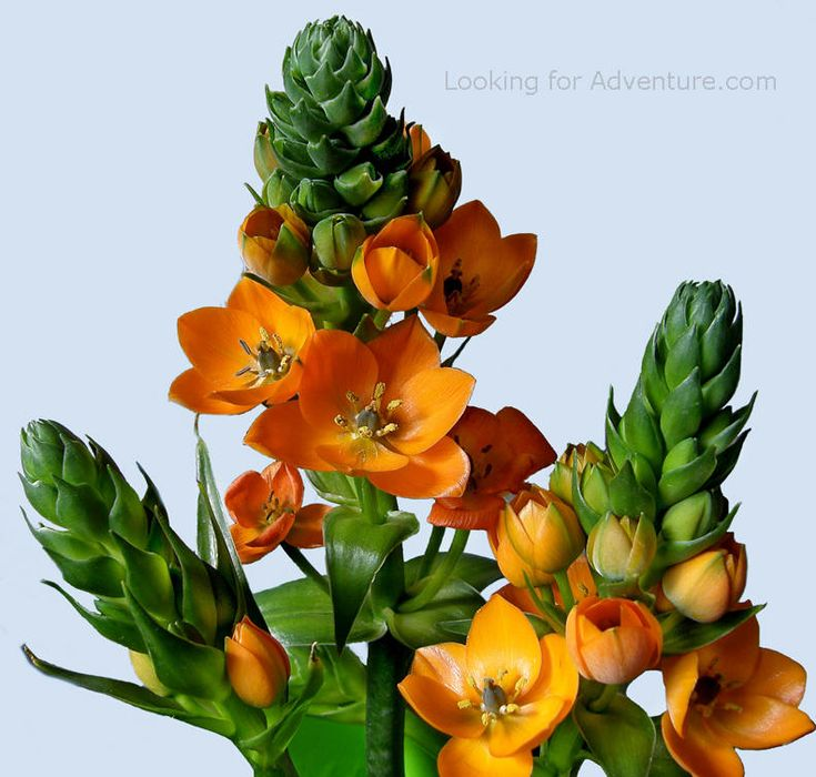 Snake Plant, Yellow Chincherinchee, Sun Star (Ornithogalum dubium)