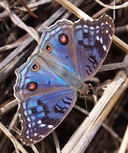 Junonia rhadama est un Nymphalinae malgache aux ailes iridescentes présent dans chacune des 3 îles des Mascareignes. Le mâle est d'un bleu très pur alors que la coloration des femelles tire sur le violacé. Ses chenilles vivent sur les Picaniers du genre Barleria. les Barleria de La Réunion sont aussi la plante-hôte d'un Alucitidae, dont je vous enverrai la photo si mon élevage réussit.