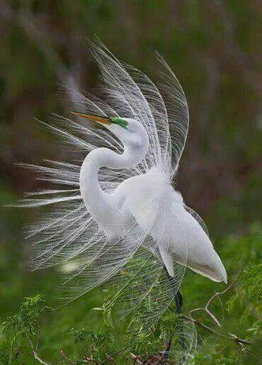 The Great White Egret | Birds | Pinterest