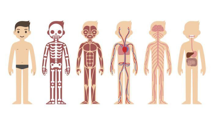 Los órganos Del Cuerpo Humano Están Diseñados Para Cumplir Diferentes Funciones Independientes Organos Del Cuerpo Humano Cuerpo Humano Cuerpo Humano Para Niños
