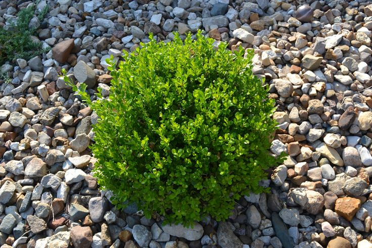 Winter Gem Boxwood is a great low maintenance evergreen plant.