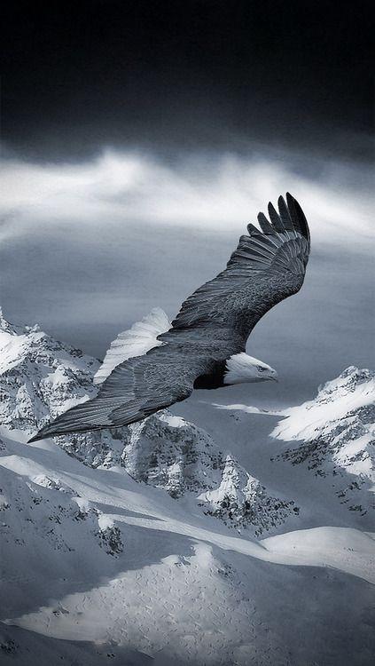 Eagle soaring                                                                                                                                                      Mais