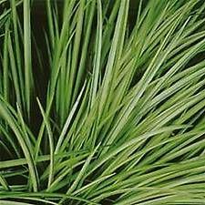 Grass grass ARUNDO d. 'Variegata'