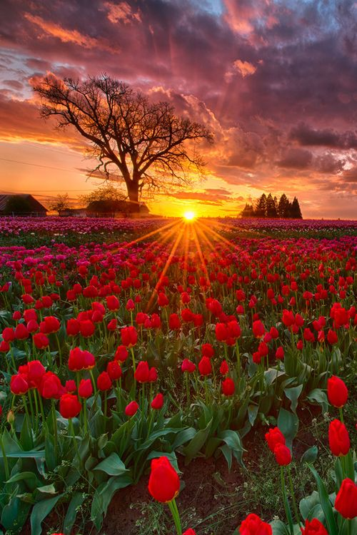 Sunset at Wooden Shoe tulip farm - Woodburn, Oregon (by Don Lally on 500px)
