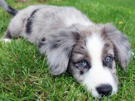 Blue Merle Border Collie! Can't wait till we get our puppy in Feb! :-) hope there's a Merle available...