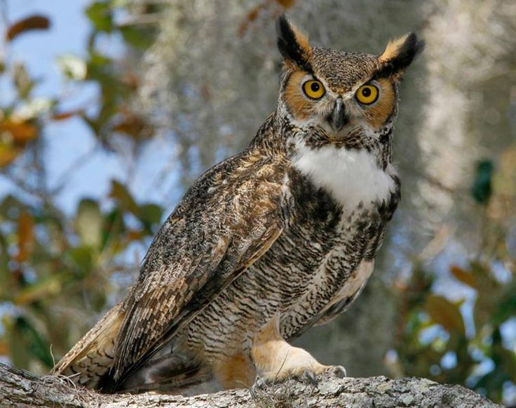 Virginia-Uhu ~ Great Horned Owl © Brian E. Small