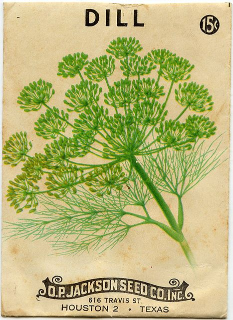 dill My maternal grandmother grew this her entire life and mine and I hated it then...now, it is my favorite smell, spice and taste. Her garden was a slice of heaven.