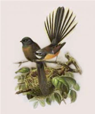 As depicted in the book of Buller's Birds, 1888. These prints are rich in colour and character. •Paper size A4 •Archival print •Protective clear bag  #inspiredliving.co.nz #nznatives #fantail