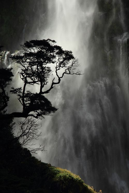 Wynston Cooper New Zealand A small Southern Beech tree silhouetted against the Devil's Punchbowl waterfall in Arthur's Pass National Park.