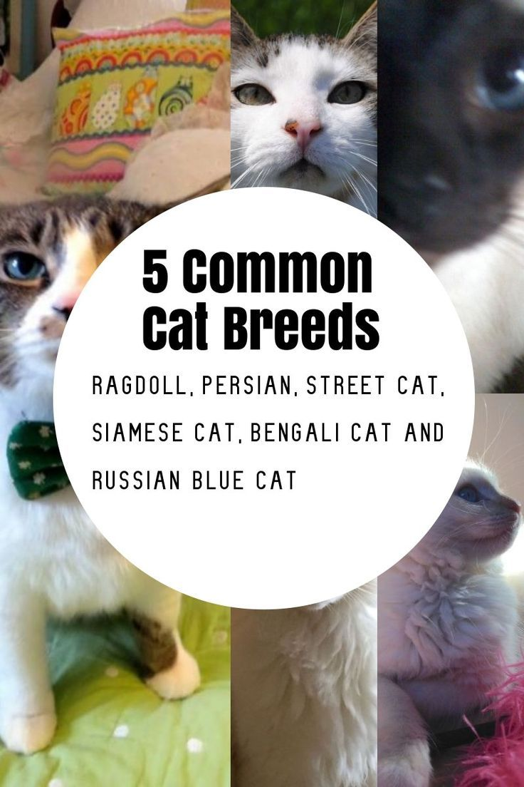 The Most Common Cat Breeds In 2020 Common Cat Breeds Cat Breeds Cat Breeds Ragdoll