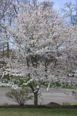 Yoshino Cherry Tree - front near bedrooms