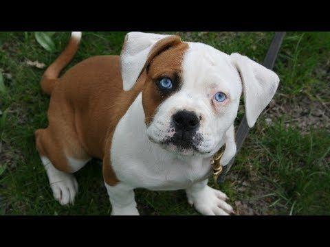 American Bulldog Puppies Jacksonville Fl