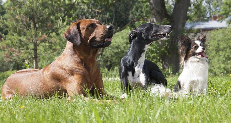 Helping Dogs Get Along (Cesar Millan)