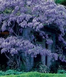 Make your wisteria bloom: Canadian Gardens, Wisteria Bloom Turning, Bloom Wisteria, Make Your Wisteria Bloom, Purple Wisteria, Prolif Bloomers, Back Yard, Flowers Plants Gardens, Barren Wisteria