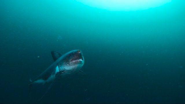 Salmon Shark | Salmon Shark circles | Flickr - Photo Sharing!