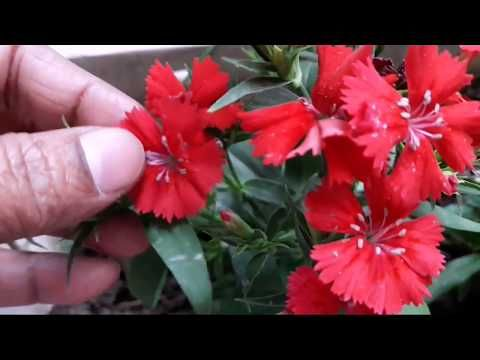 61 Winter Flower Dianthus How To Grow Cuttings Of Old Plant N Care Tips Hindi Urdu Youtube In 2020 Winter Flowers Flowers Plants