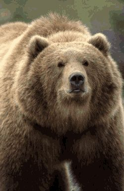 Kodiak Bears are a subspecies of brown bears and one of the largest bears other than the polar bear. They live in the Kodiak Archipelago of Alaska.