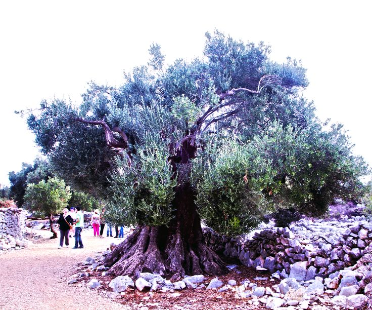 The oldest tree of Lun Olive Gardens in Pag, #Croatia is over 1600 years old.