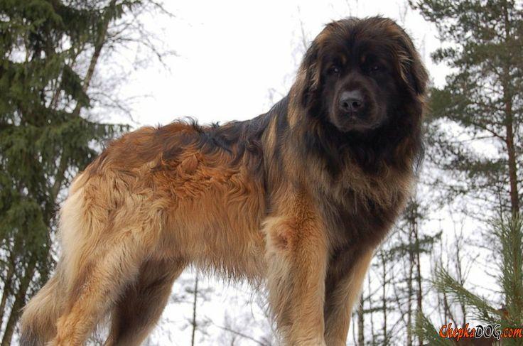 фото самых больших собак