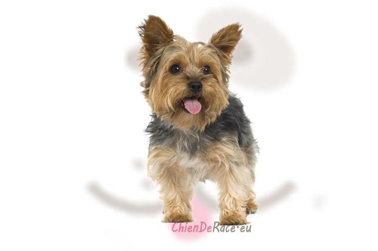 Le Yorkshire Terrier est un chien d'origine écossaise mais qui vient d'Angleterre. L'histoire raconte que des ouvriers écossais seraient venus s'installer..