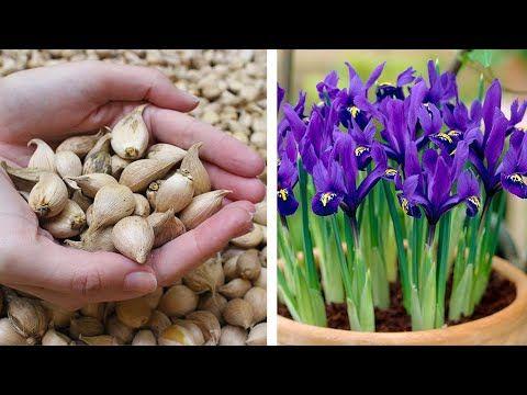 (90) How to Plant Iris Reticulata Pixie: Spring Garden Guide - YouTube | Garden guide, Spring ...