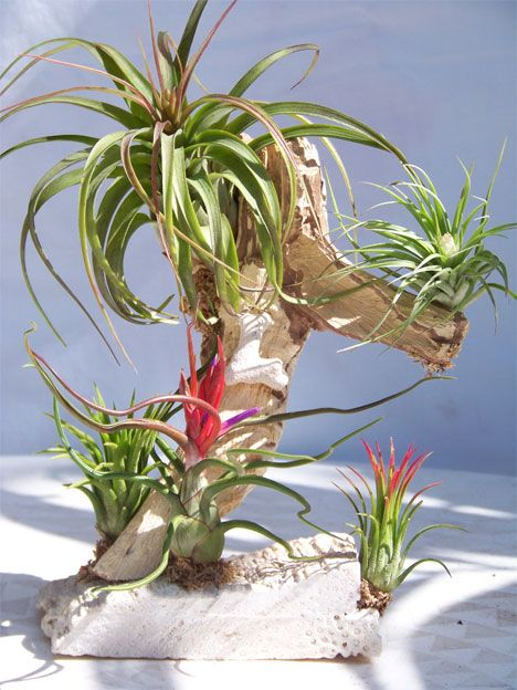 Air plants, or Tillandsia, are bromeliads without roots.