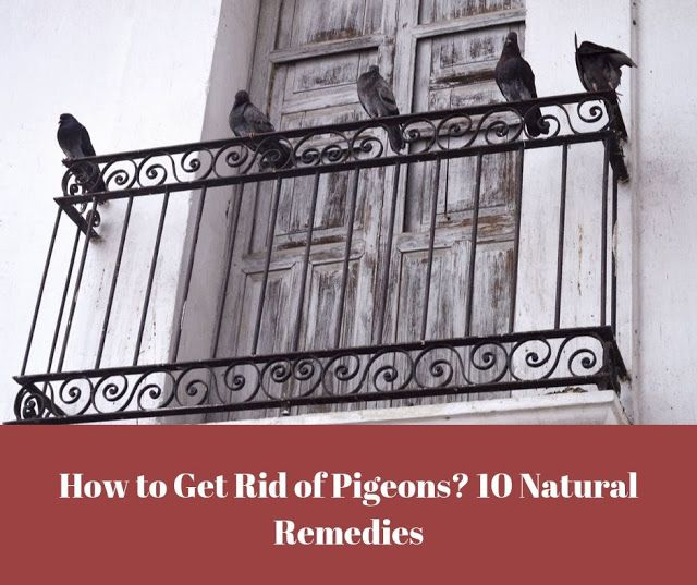 How To Get Rid Of Pigeons On Roof Trees Balcony Get Rid Of Pigeons Pigeon Deterrent Pigeon Repellent