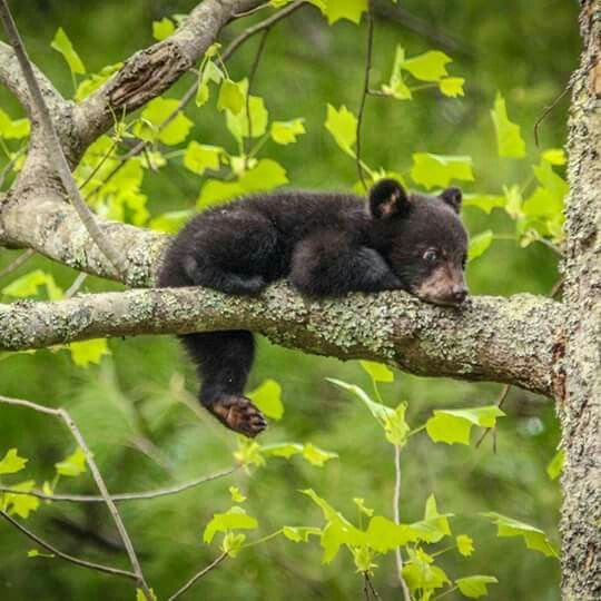 Black Bear Cub                                                                                                                                                                                 More