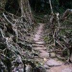 Una tribu proveniente del estado de Meghalaya, en India, notaron un árbol con raíces lo suficientemente resistentes como para sostenerlos y cruzar los ríos.