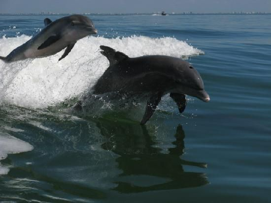 Sanibel Island ... See this on the Thriller ride. I must see if any investors want to buy me a boat to give tours!!!: Island Dolphins, Florida Favorites, Dolphins Whales, Favorite Places, Dolphins Playing, Sanibel Island Just, Captiva Island, Islands, Bottlenose Dolphins