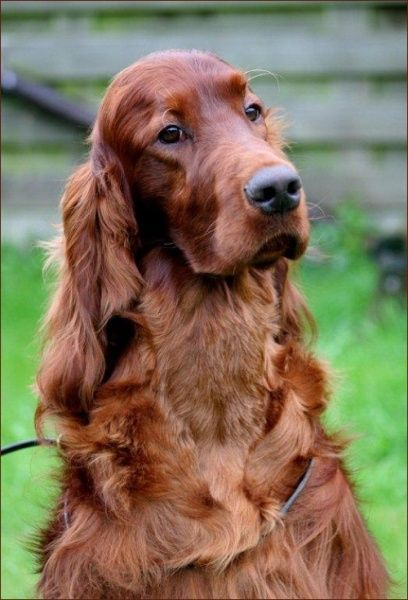 A stunning Irish Setter. You don't see them very often anymore.