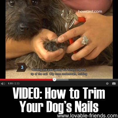 Did you know that untrimmed nails can actually harm a dog's health.  Here's a great tutorial showing you what to do.